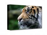 Tigris vászonkép